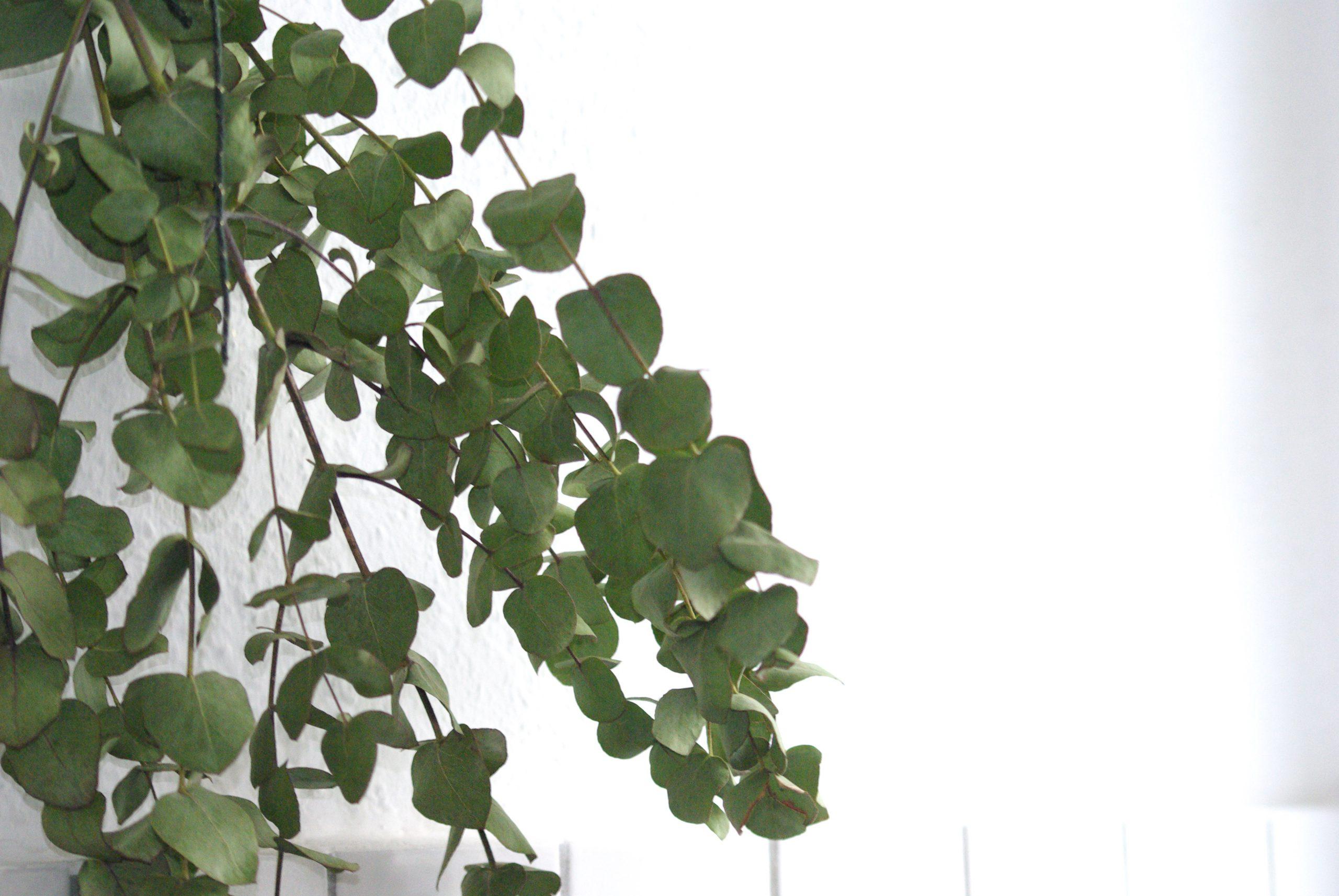 Spa-Erlebnis für zu Hause: Eukalyptus-Showers